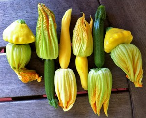 Accidental Locavore Squash Blossoms