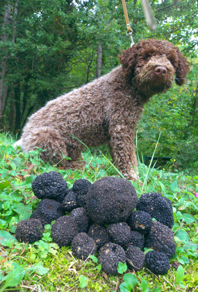 Accidental Locavore Truffle Dog