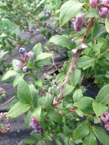 Accidental Locavore High Bush Blueberries
