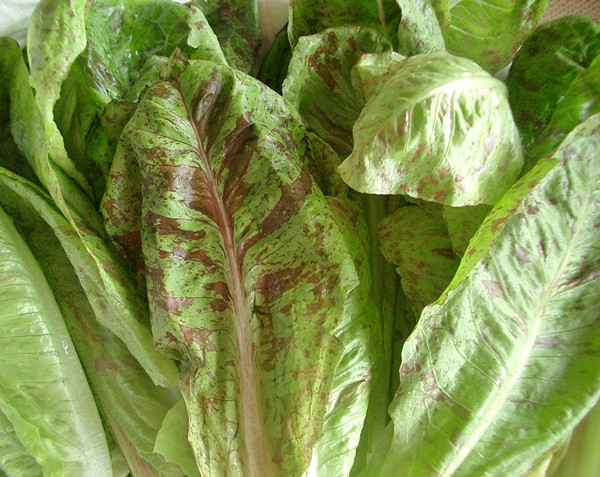 Accidental Locavore Romaine for Grilled Caesar Salad