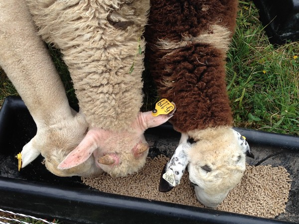 Accidental Locavore Sheep Eating