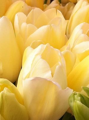 Accidental Locavore Tulips