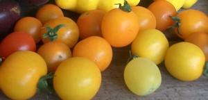 Accidental Locavore Cherry Tomatoes