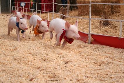 Accidental Locavore Pig Races