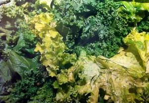 Accidental Locavore Kale