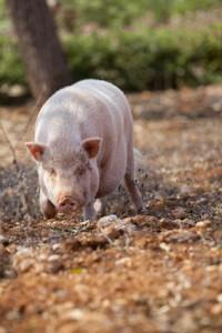 Accidental Locavore Pig