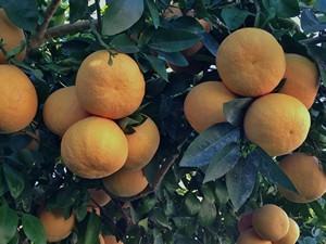 Accidental Locavore Clusters of Grapefruit