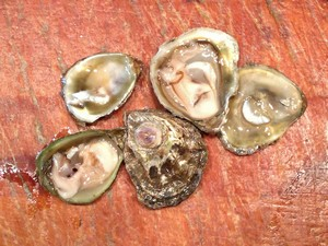 Accidental Locavore Olympia Oysters