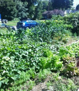 Accidental Locavore Community Garden