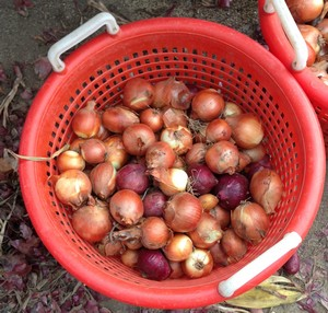 Accidental Locavore Basket of Onions