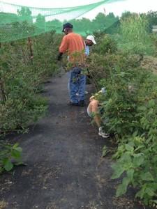 Accidental Locavore Picking Berries
