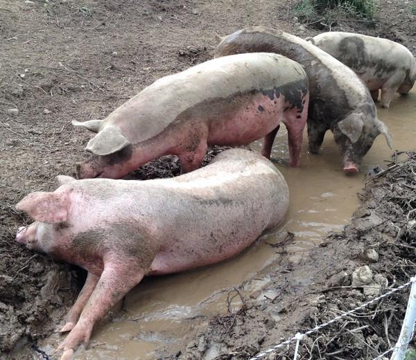 Accidental Locavore Four Pigs