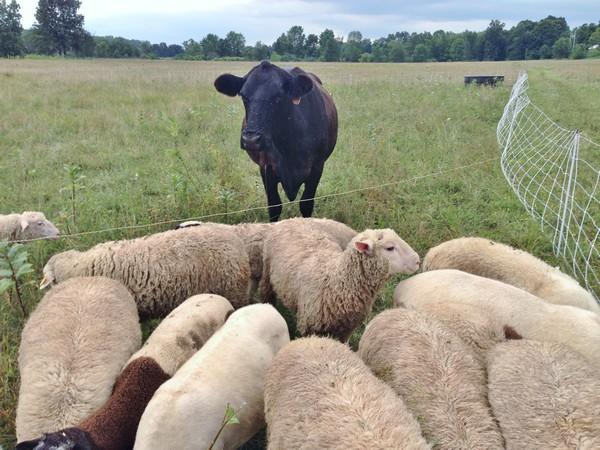 Accidental Locavore Guard Cow