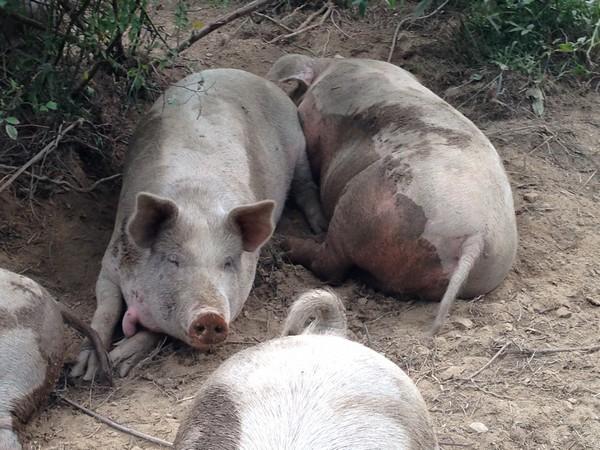 Accidental Locavore Pigs