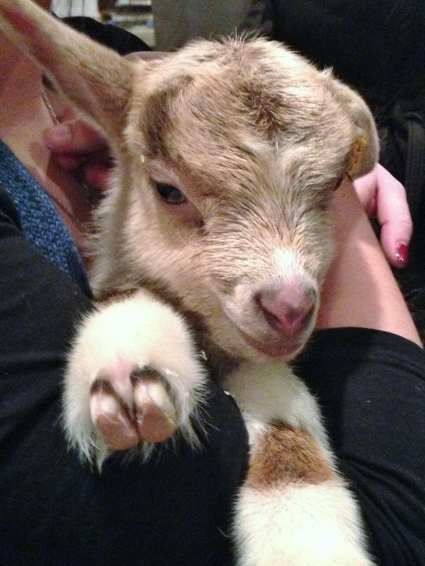 Accidental Locavore Week Old Goat