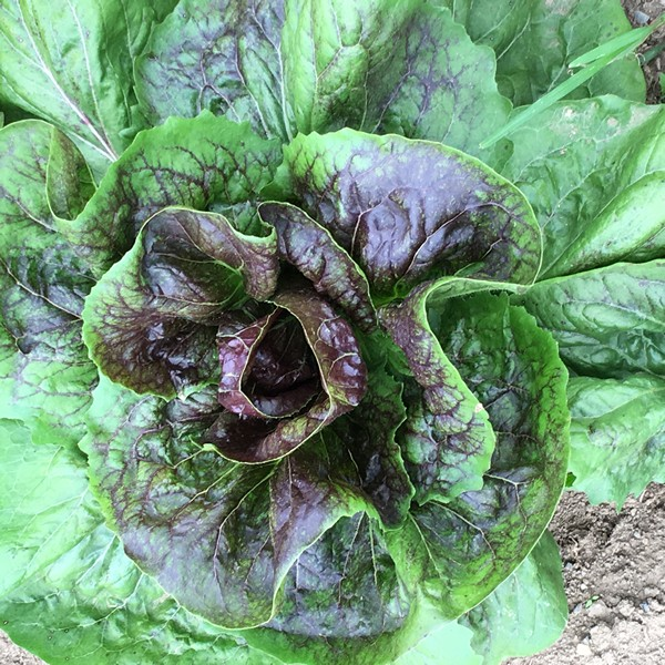 accidental-locavore-farmers-market-lettuce